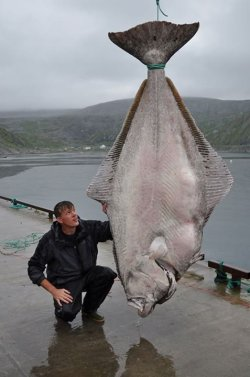 Marco Liebenow was fishing in Kjollefjord, Norway and caught what could be a world record 513 pound halibut.