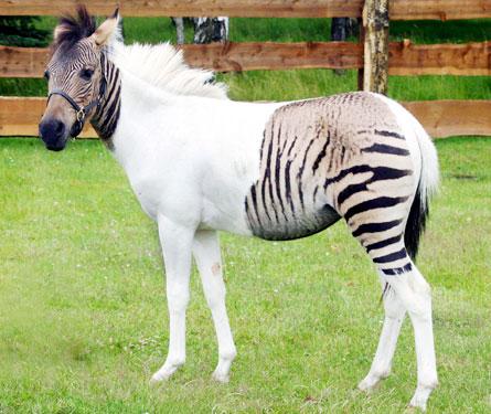 Hybrid of Horse and Zebra