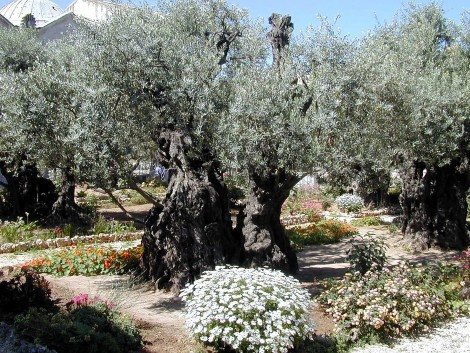 The Garden of Gethsemane -- Olive trees up close