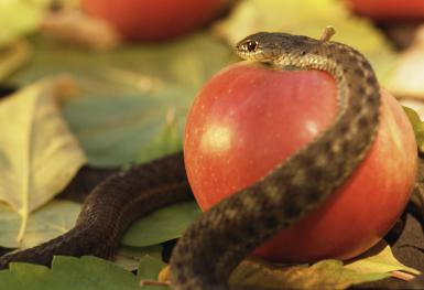 Original Sin according to the Christian dogma: Serpent and apple
