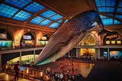 A life size model of blue whale in American Museum of Natural History in New York