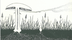 "Cloud of spores dispersed from the horse mushroom illustrated by A. H. R. Buller, the ""Einstein of Mycology,"" in 1909.  ILLUSTRATED BY A. H. R. BULLER."