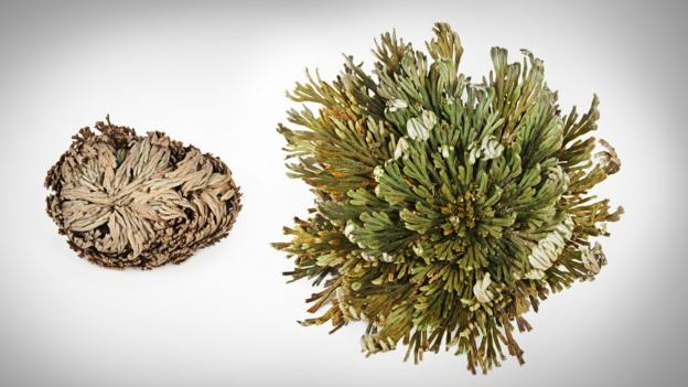 Resurrection plant before and after water