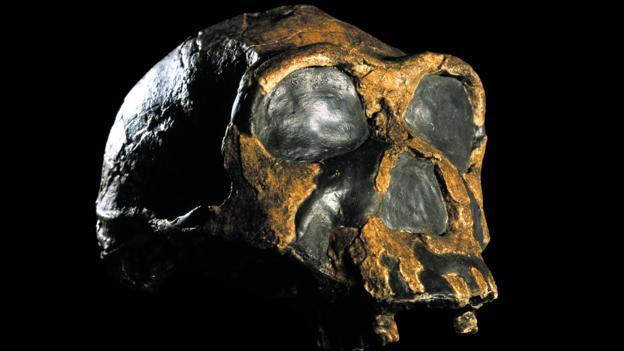 Homo ergaster skull (KNM-ER 3733)