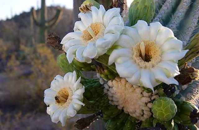 flowers of the desert