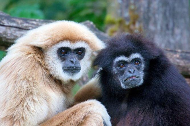 gibbon1