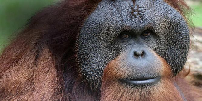 great-ape