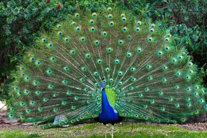 peacock-fanned
