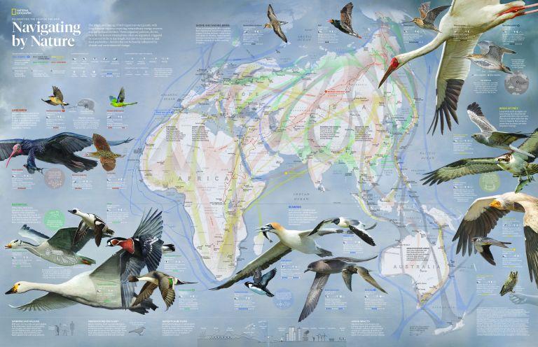 navigation of birds