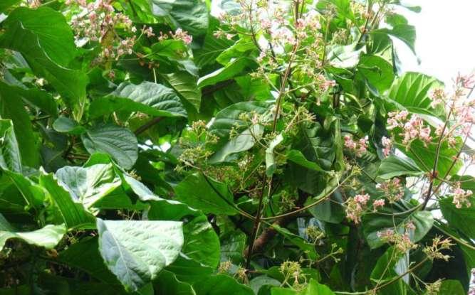 cinchona tree