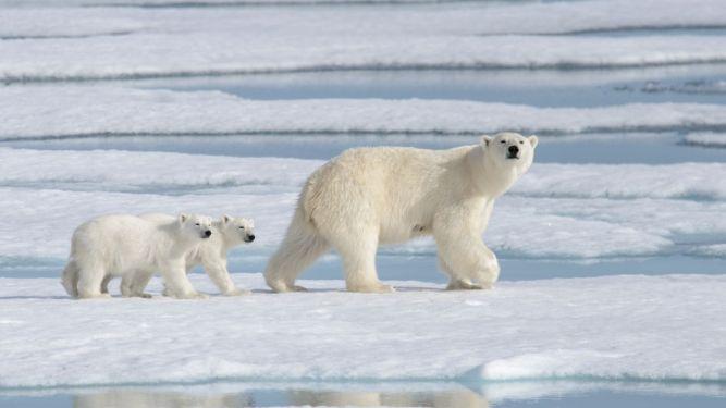polar bears and pubs